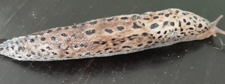 Leopard Slug JM 20200822