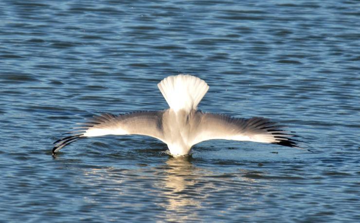 Silver Gull headstand RH 20200907