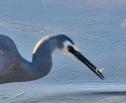 white-faced-heron-rh-20200907