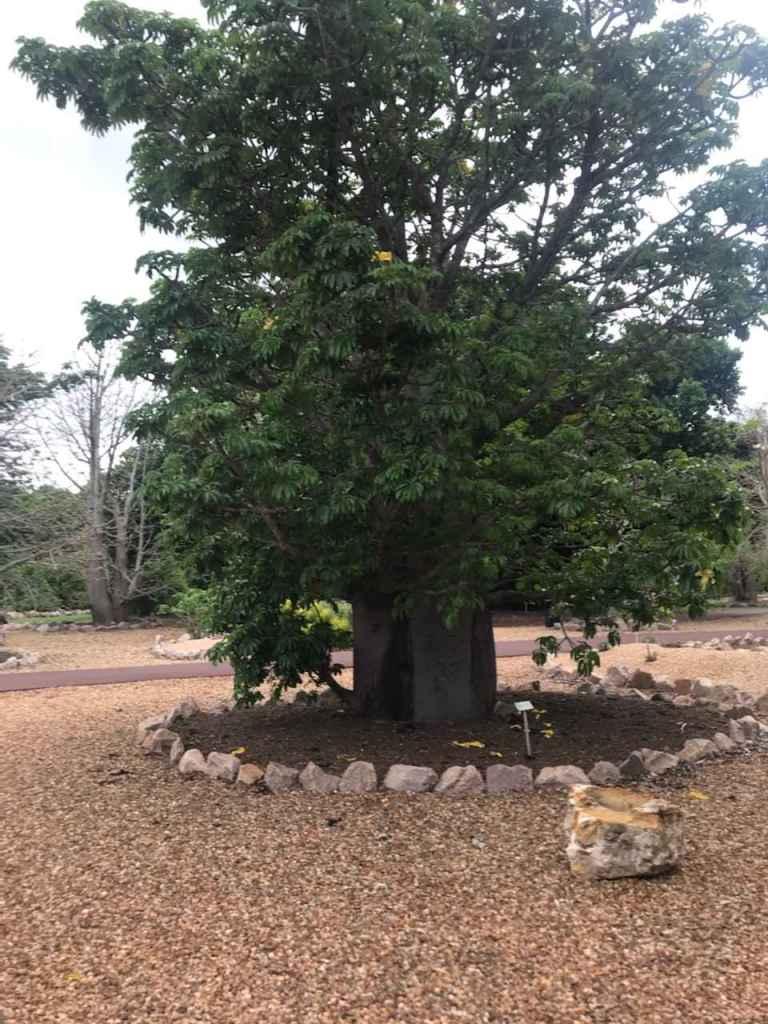 Perrier's Baobab JB 20201017