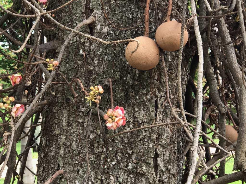 Cannonball Tree JB 202017