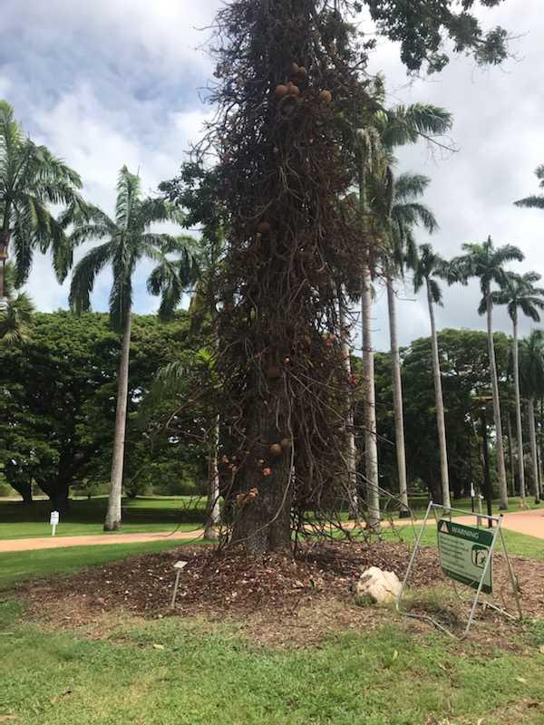 Cannonball Tree JB 20201017