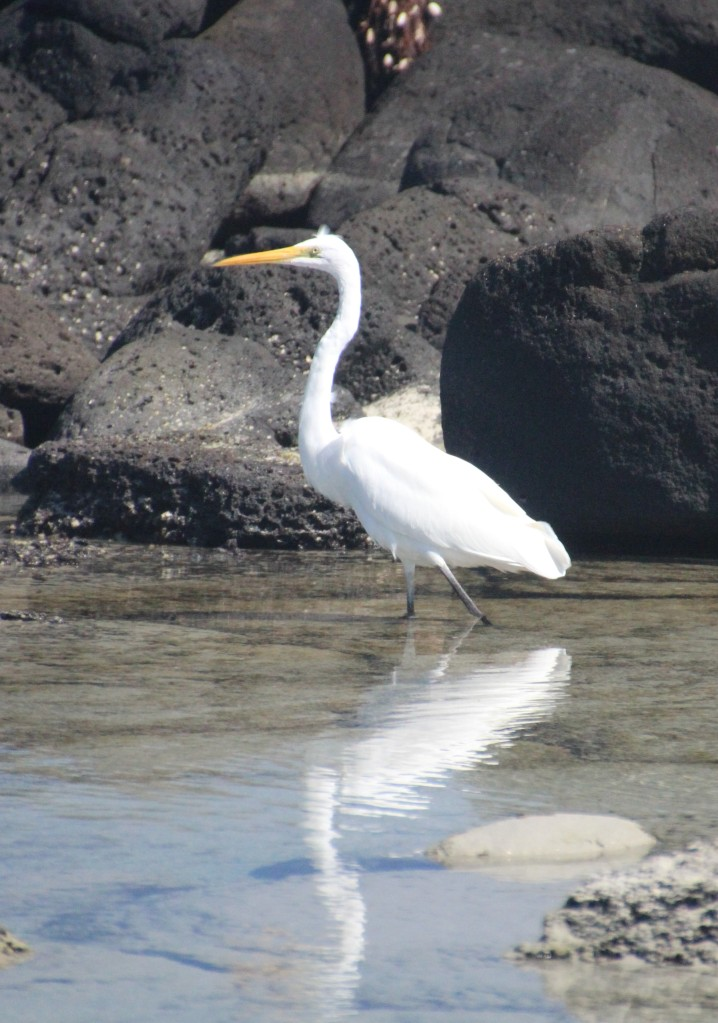 Great Egret AP 20201006