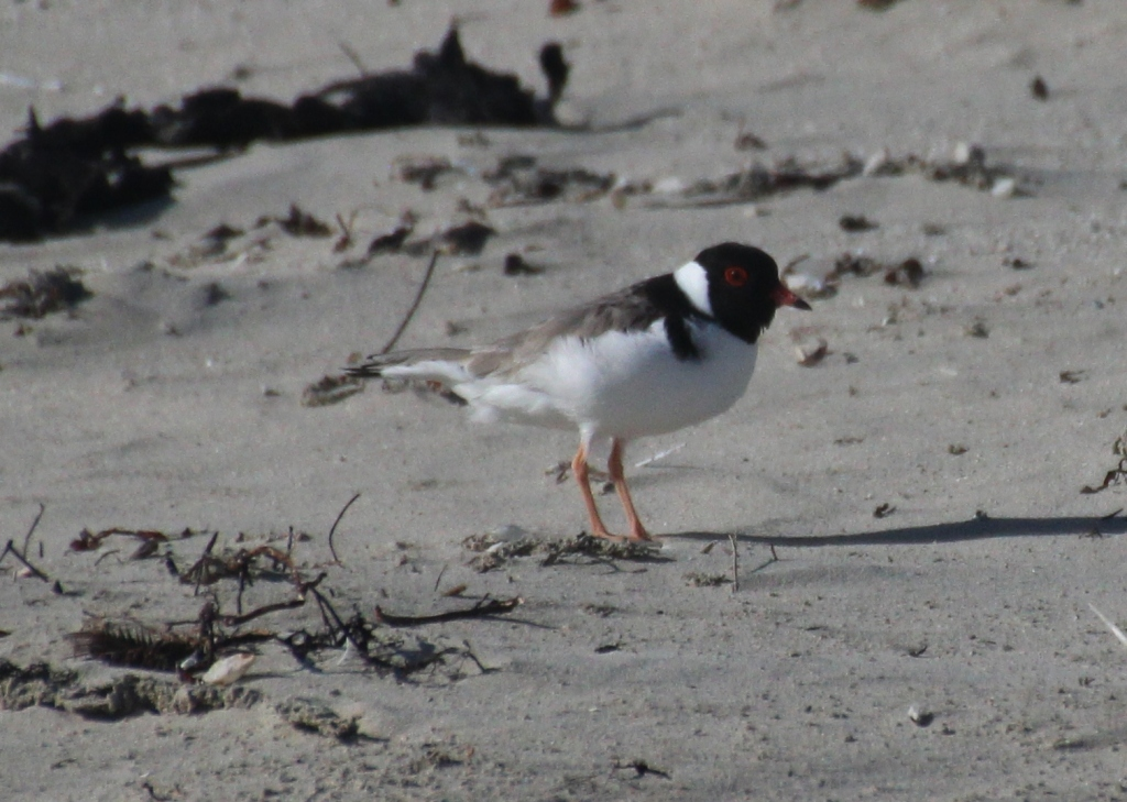 Hooded Plover AP 20201006